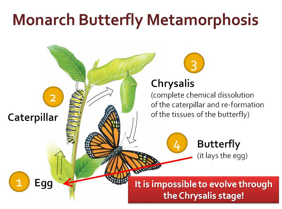 Monarch butterfly life cycle illustration