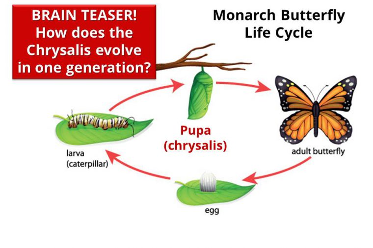 Brain teaser! How does the Chrysalis stage of the Monarch Butterfly life cycle evolve in one generation?